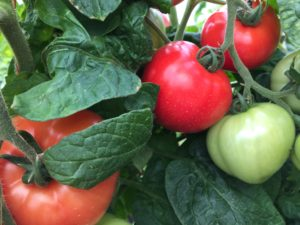 Cover photo for Vegetable Production Update-April 13, 2018