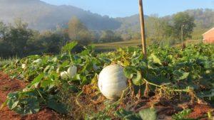 big white pumpkin in the field