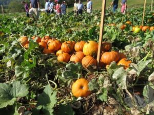 orange pumpkins in the field