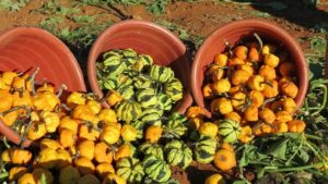 buckets of small gourds