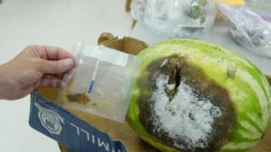 test strip next to a diseased watermelon