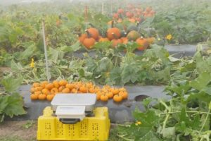 analytical scale in the pumpkin plots
