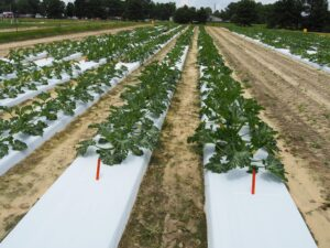 rows of squash plants in the field